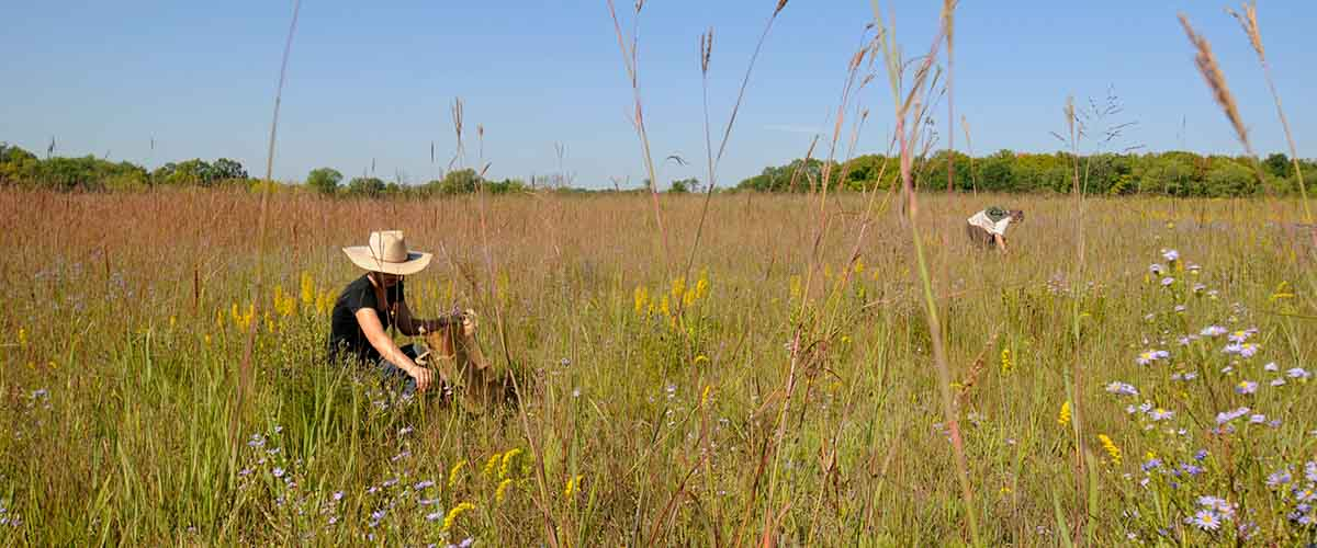 Prairie seed collection volunteer