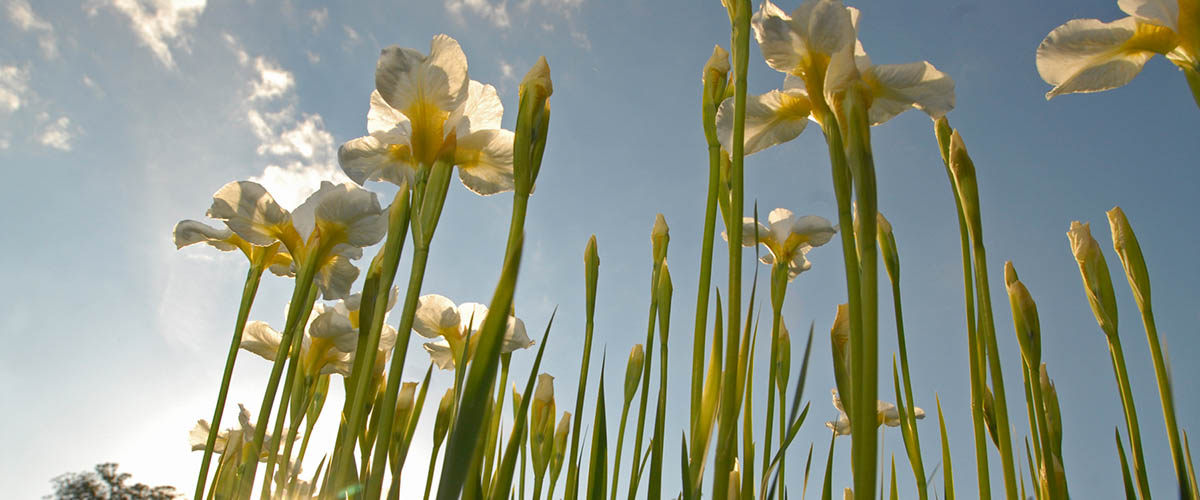White iris against a blue sky