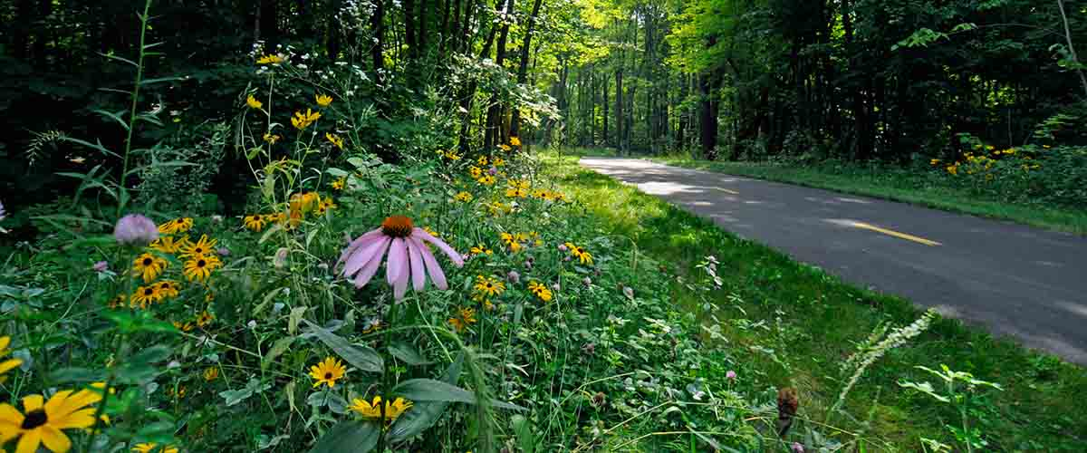 Native flowers along paved trail