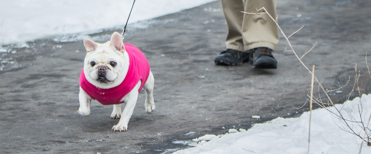 Small white dog wearing a pink sweater walking on a trail in winter