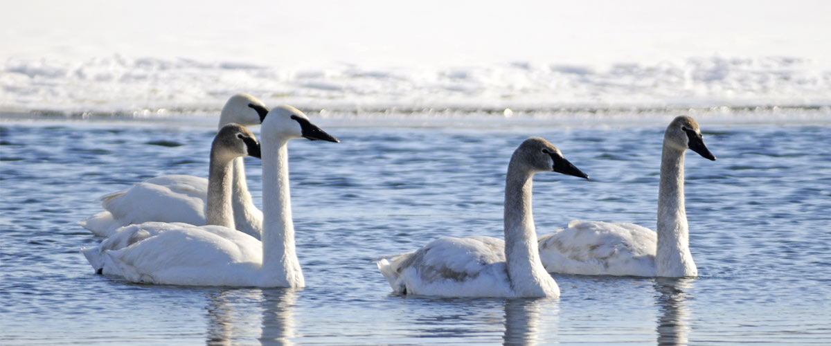 trumpeter swans in the water in winter