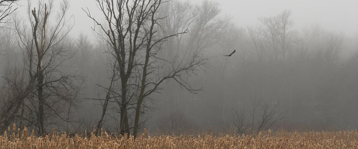 eagle flying over a cattail marsh on a foggy day