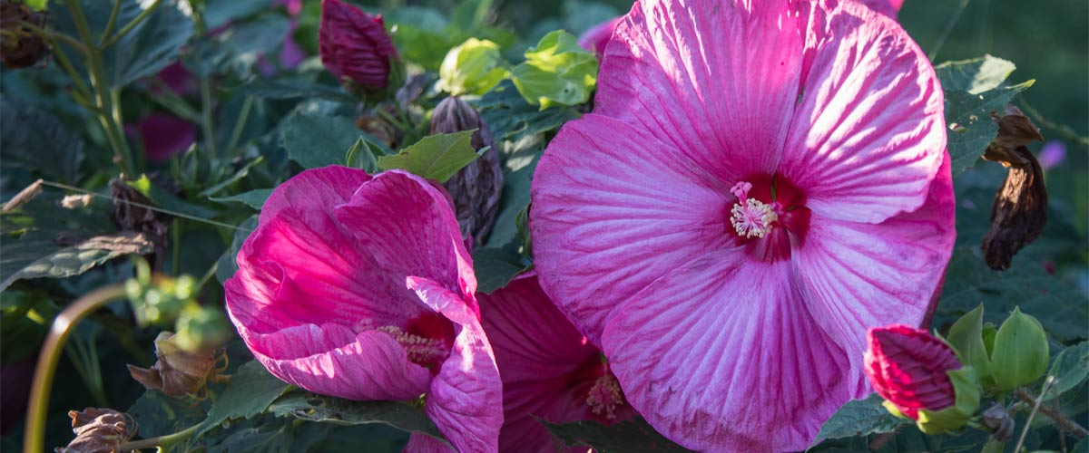 pink hibiscus flower in bloom