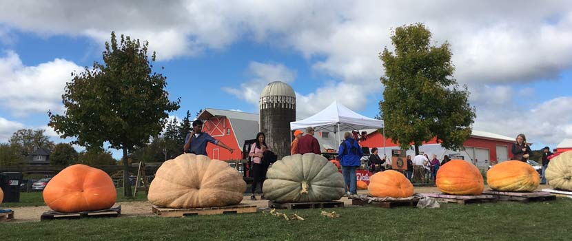 giant pumpkins at Gale Woods Farm