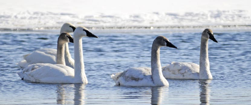 four white trumpeter swans on a lake in the winter.