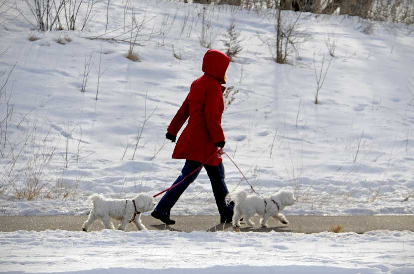a woman in a red coat walking two small white dogs on a paved trail.