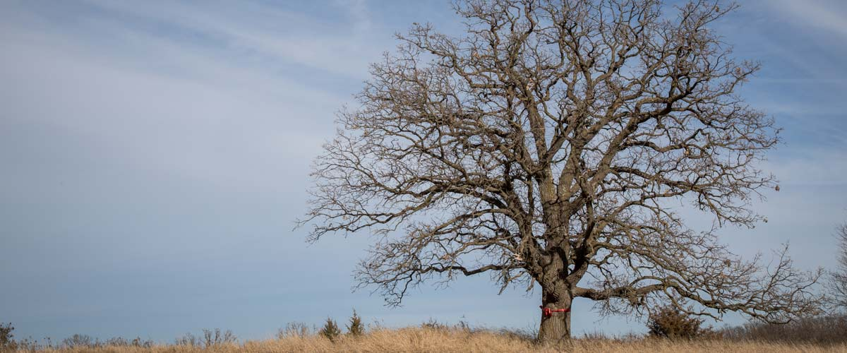 a large oak tree that's lost it's leaves in a prairie against a blue sky.