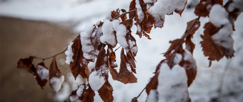 brown leaves on a branch covered in snow.