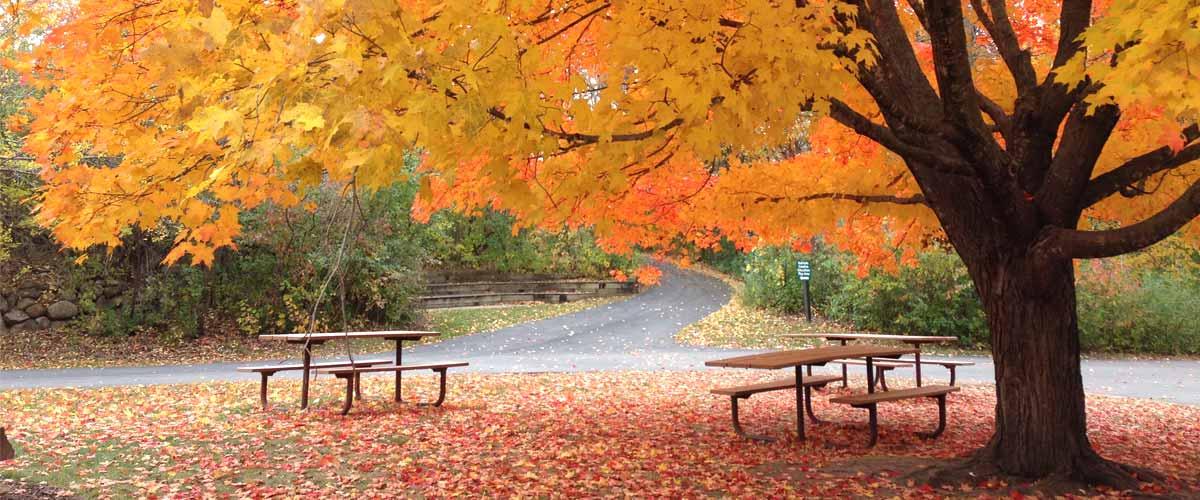 Species Spotlight Sugar Maples Three Rivers Park District