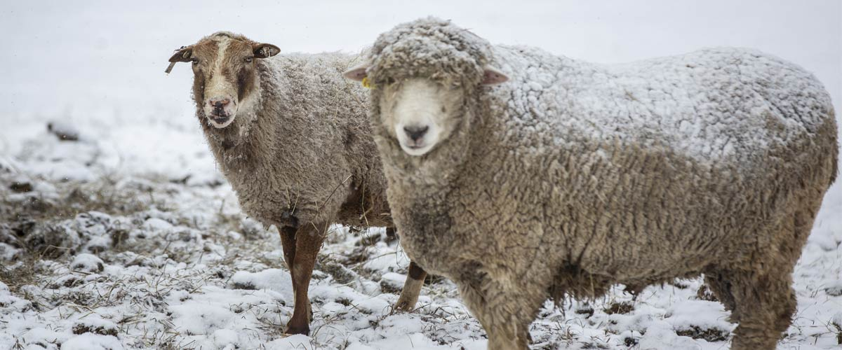 two sheep standing in snow and covered in snow.