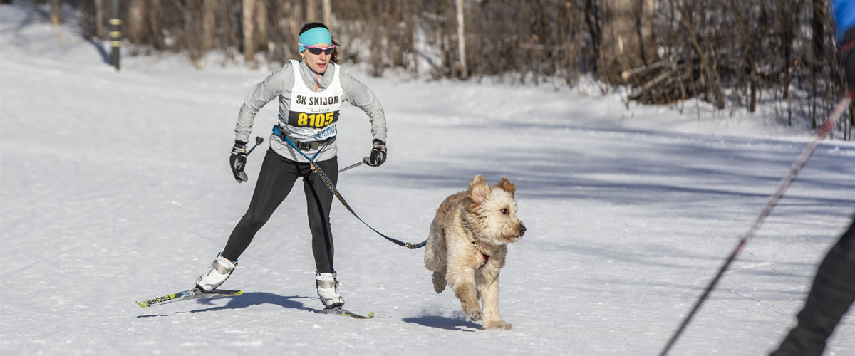 a woman skijoring with with a light-colored golden doodle