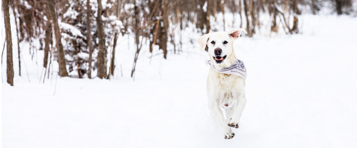 a yellow lab running in the snow.