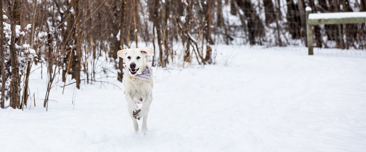 a yellow lab running toward the camera in the snow. Trees are in the background.