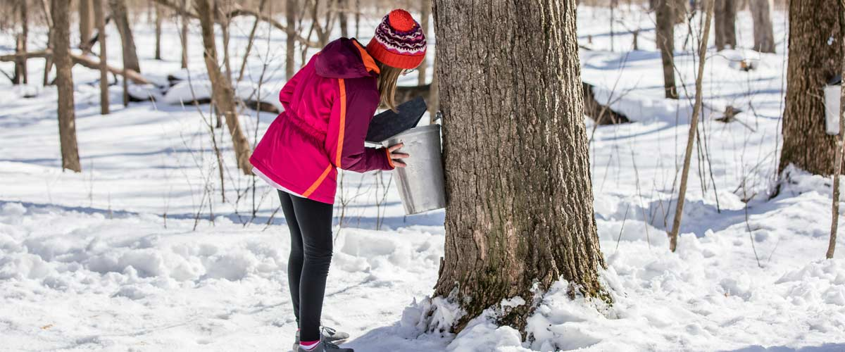 a girl in a pink coat looks into a metal bucket collecting sap from a maple tree.