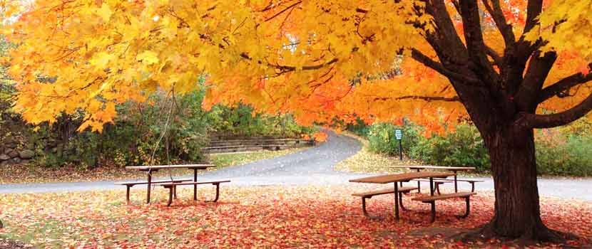 a large maple tree with yellow and orange leaves providing shade for picnic tables.