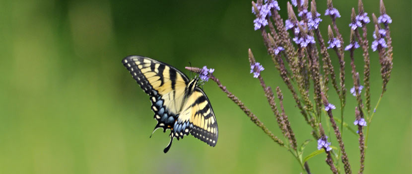 close up of a yellow butterfly on a purple flowering plant