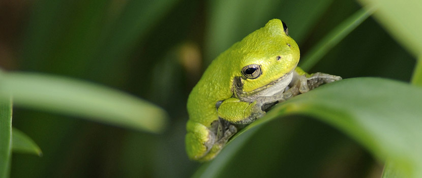 close up of a green frog sitting on a plant leaf