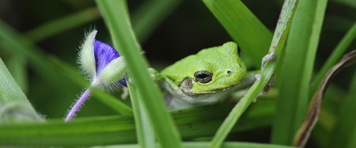 close up of a green frog in blades of grass