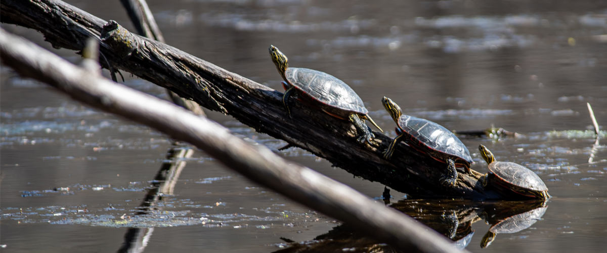 Three painted turtles on a log in the water.