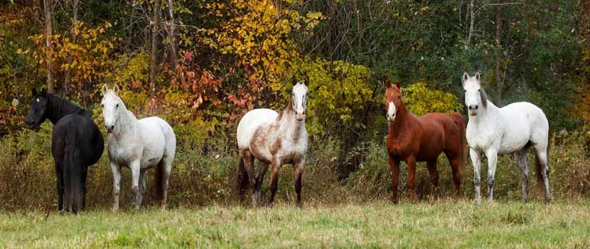 five horses on pasture