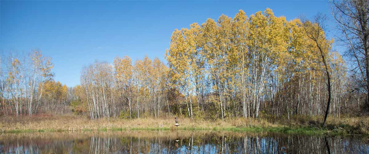 Tall trees on the shore of a lake that have turned gold in the fall.