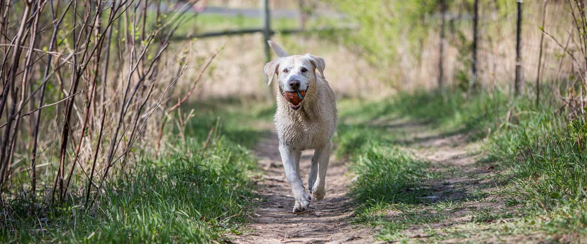 A wet yellow lab walks down a grassy trail with a ball in it's mouth.