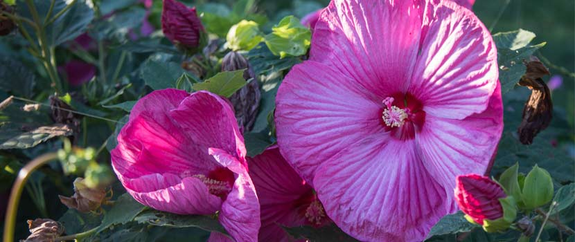 a large pink hibiscus flower against green foliage.