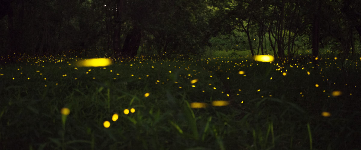 Fireflies glow against the forest floor at night.