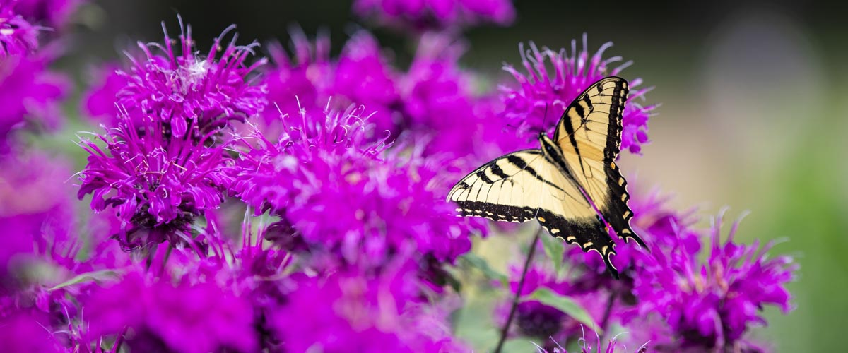 A yellow swallowtail butterfly rests on purple flowers.