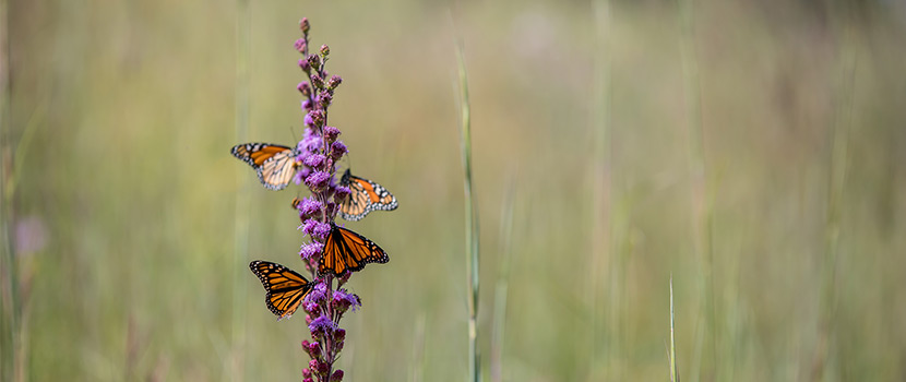 four monarch butterflies on a purple flower in the prairie