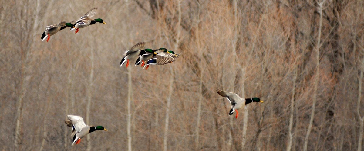 Several mallard ducks fly through the air preparing to land. Trees are in the background.