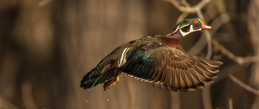 A wood duck flying near a wooded area.