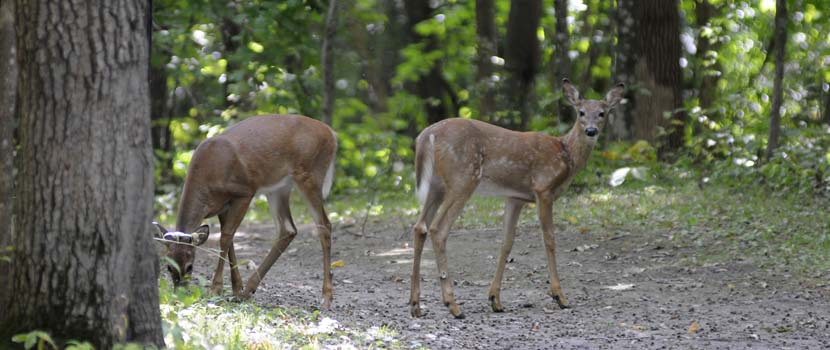 A deer and a fawn stand on a wooded trail.