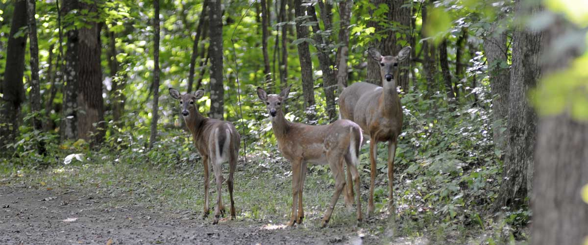 A family of deer on a wooded trail look back at the camera.