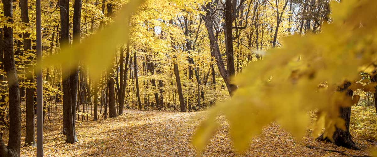 A leaf-covered trail winds through a maple forest that has turned yellow in fall.