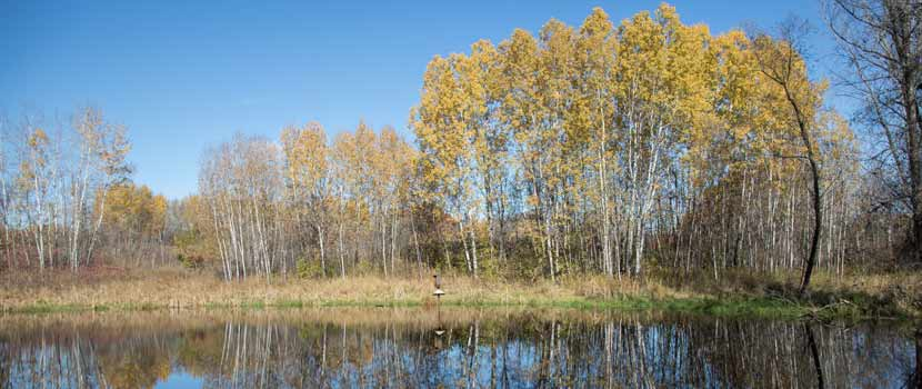 Aspen trees that have turned yellow in the fall line the shore of a lake.