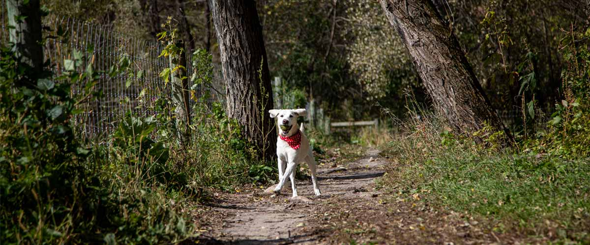 A yellow lab with a ball in its mouth runs down a dirt path alongside a fence.