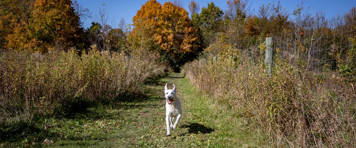 A yellow lab runs toward the camera down a grassy trail in the fall.