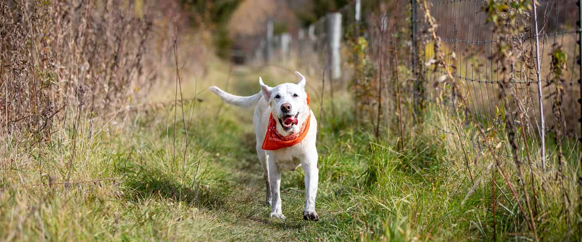 a yellow lab running toward the camera down a grassy path in the fall.