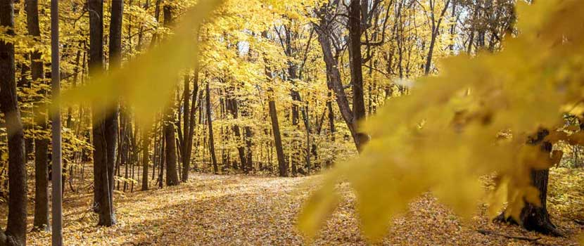 A trail goes through a maple forest that has turned golden in the fall.