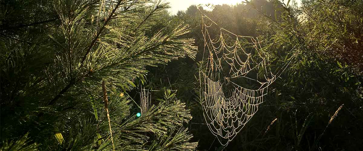 spider web covered in dew hanging between trees