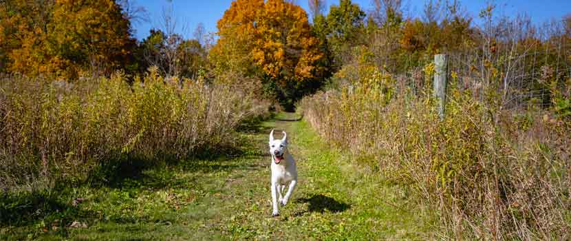 A yellow lab runs down a grassy path in the fall.