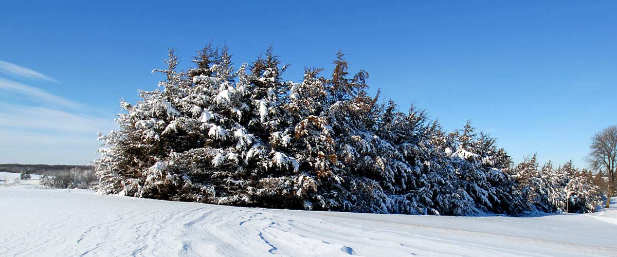 A cluster of evergreens in a snowy field.