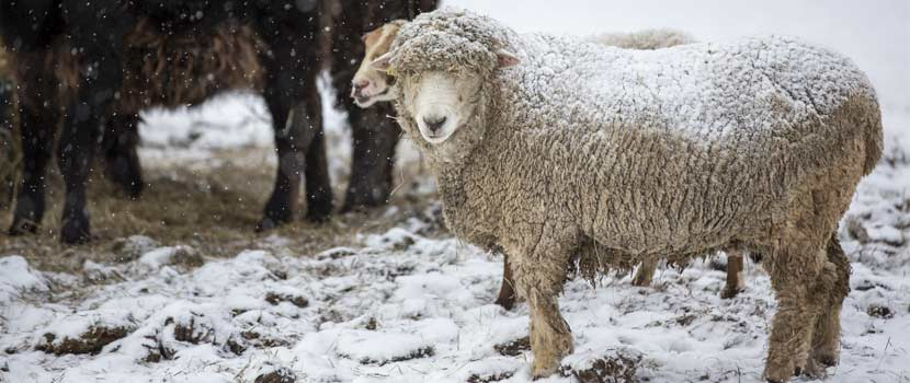 A white sheep covered in snow looks at the camera.