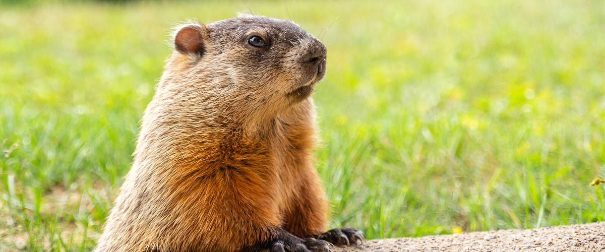 A close-up image of a groundhog standing on its hind legs and resting its front legs on a cement block.