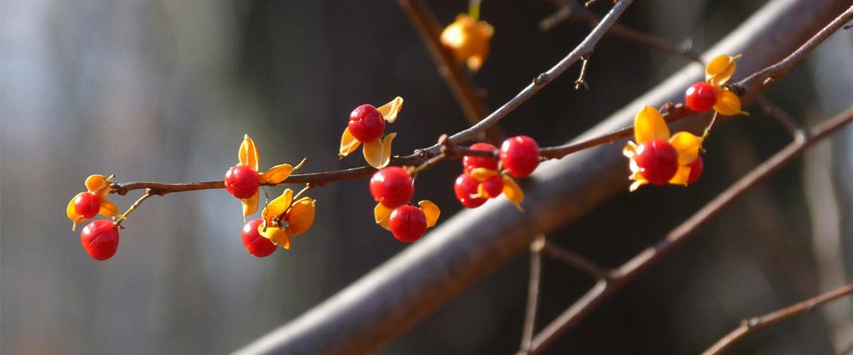 berries on an oriental bittersweet vine