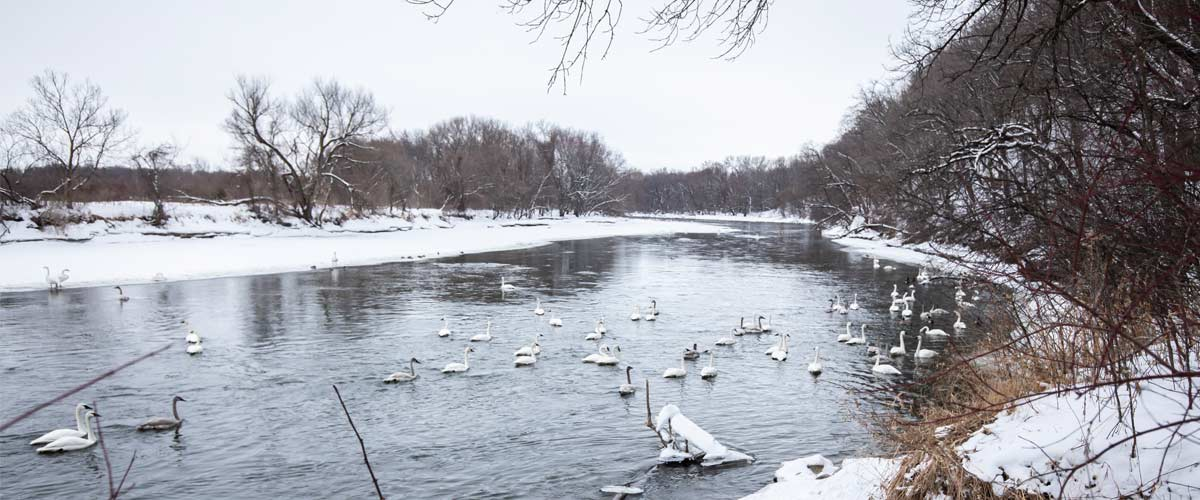 A group of trumpeter swans gathers on a river surrounded by snow-covered banks.