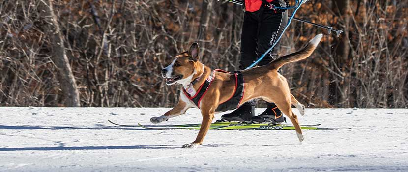 dog and handler skijoring