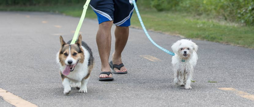 A man walks two dogs on leashes on a paved trail.