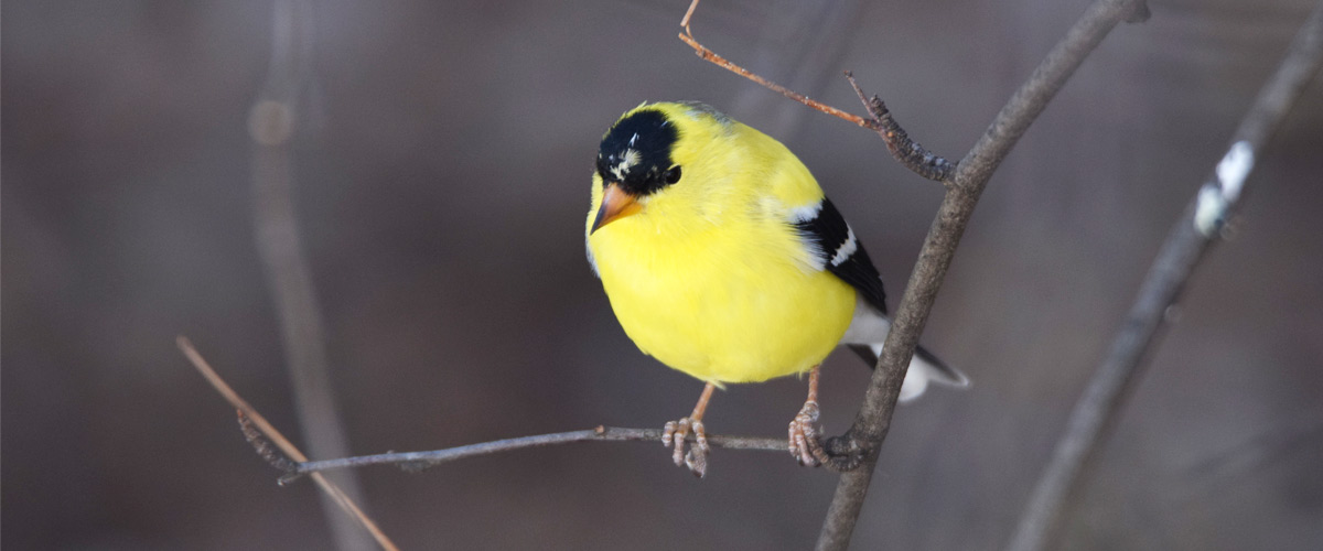 A goldfinch perches on a tree branch.